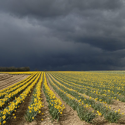 Daffodils and dark sky Dunston Heath